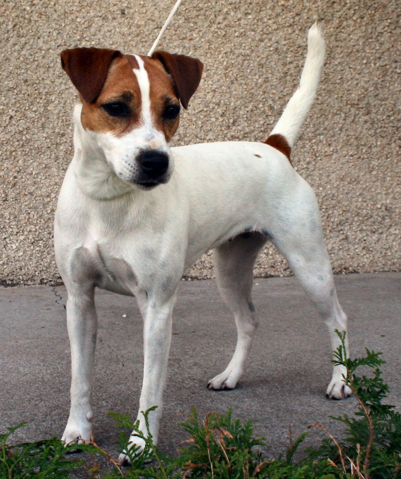 SeptiemeCiel Terrier Parson Jack Russell - Puppies Ghilo