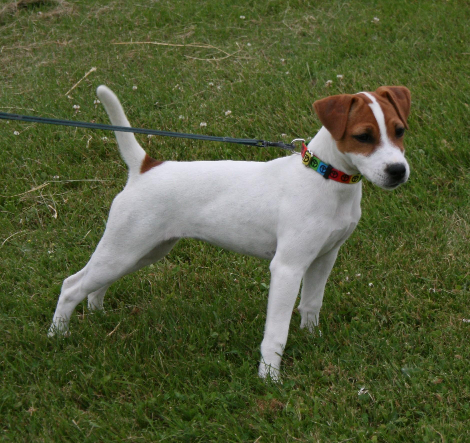 Septiemeciel Parson Jack Russell Ghilo des Very Important Parson White Parson Russell Terrier
